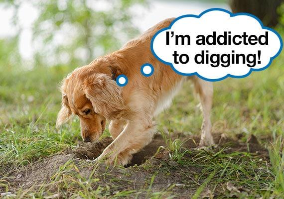 Cocker Spaniel Dog Digging Holes In Yard 8036628